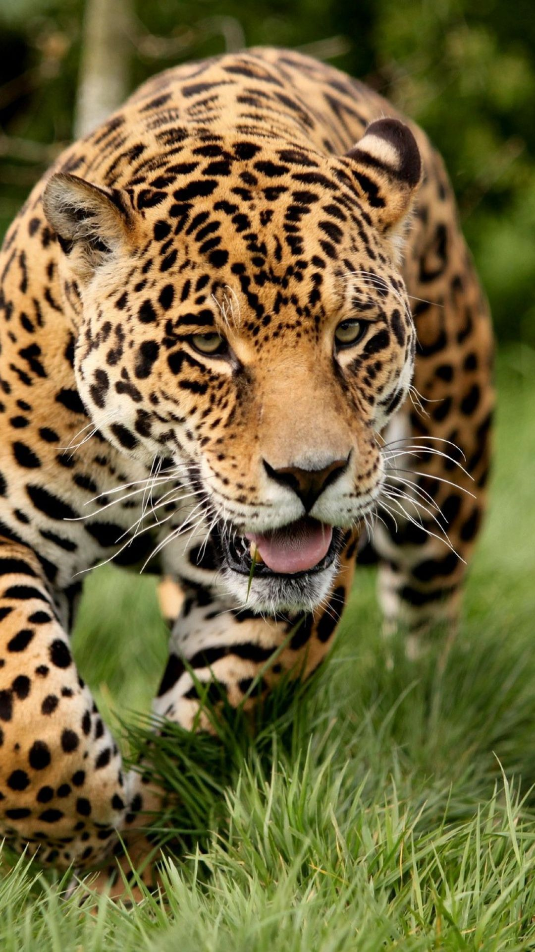 leopard, big cat, predator, escape Wild cats, Animals