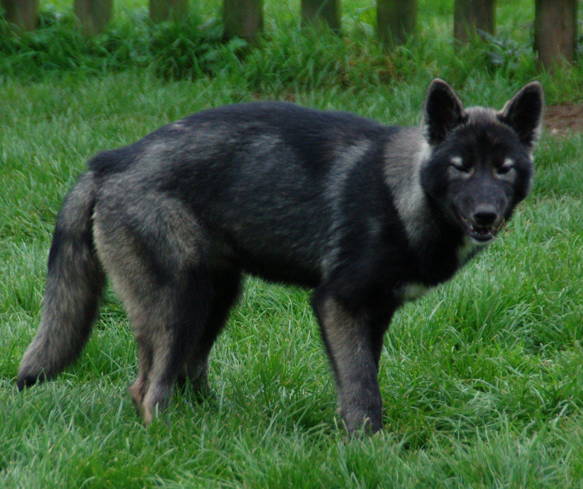 About Blufawn Northern Inuit Dog Top Dog Breeds Tamaskan Dog