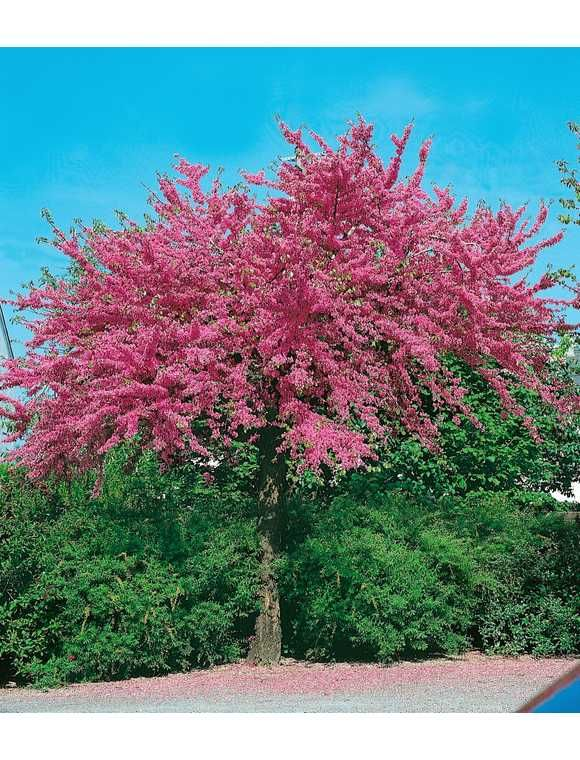 Kanadischer Judasbaum Appalachia Judasbaum Straucher Garten Garten
