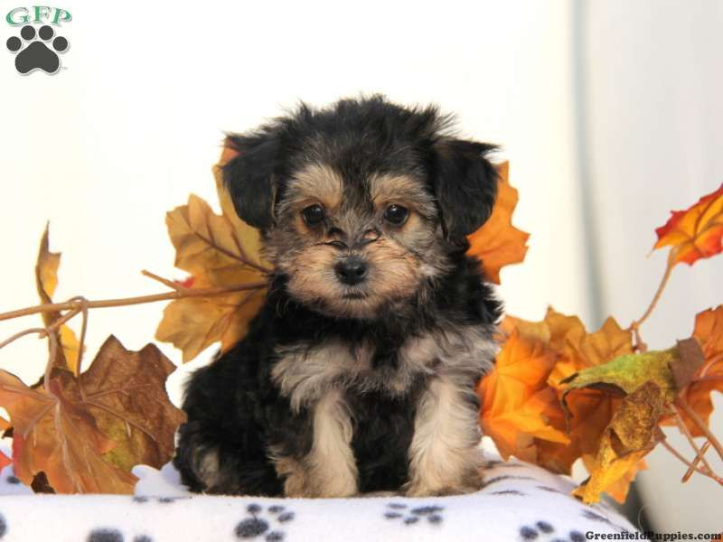 Yorkie Poo Puppies For Adoption In Pa References