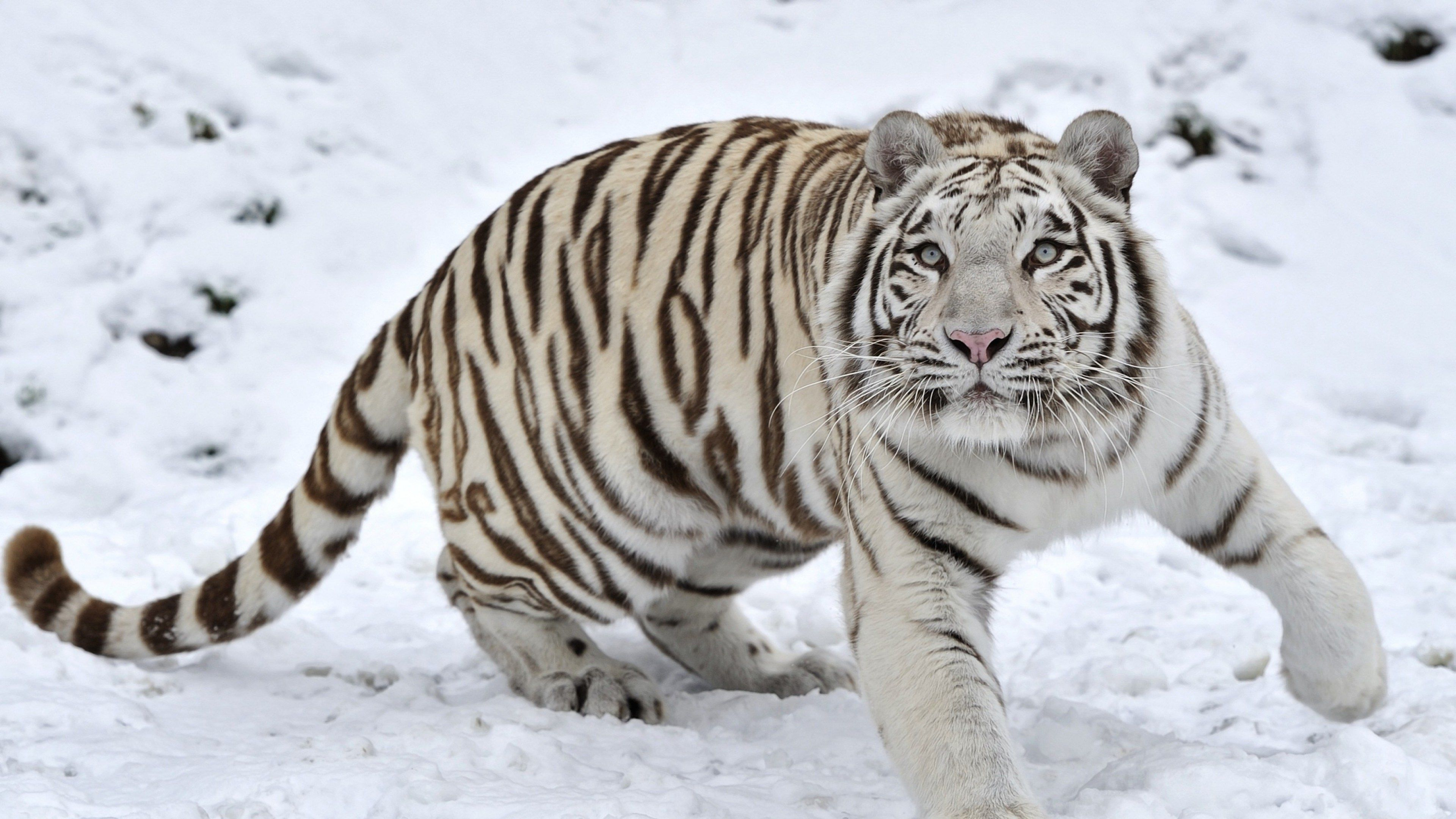 3840x2160 Tiger 4k Wallpaper Most Downloaded Snow Tiger White Tiger Snow Animals
