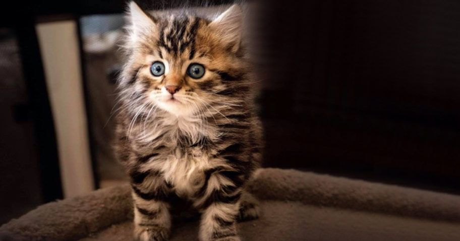 Are Siberian Cats Hypoallergenic In 2020 Siberian Cat Siberian Kittens Siberian Cat Hypoallergenic