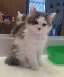 Ike Is An Adoptable Domestic Long Hair Gray And White Cat In Oak Creek Wi Ike Is A 12 Week Old Male Grey And White Cat Grey And White Kitten White Kittens