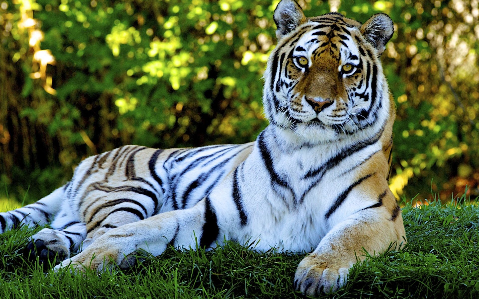 Animated Nature Wallpapers For Desktop Tiger desktop