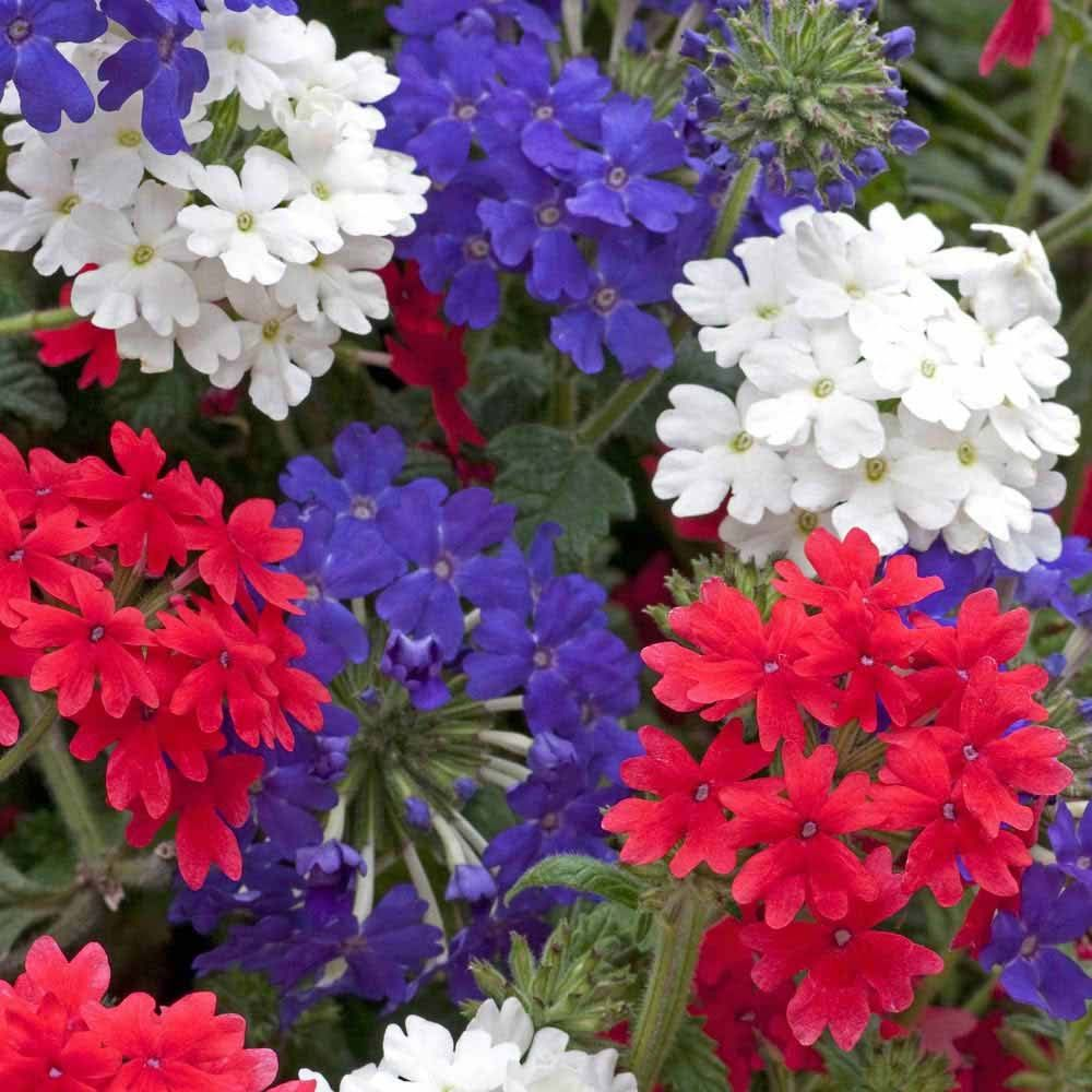 Verbena Red White And Blue Liberty Is The Variety Name Grows To 10