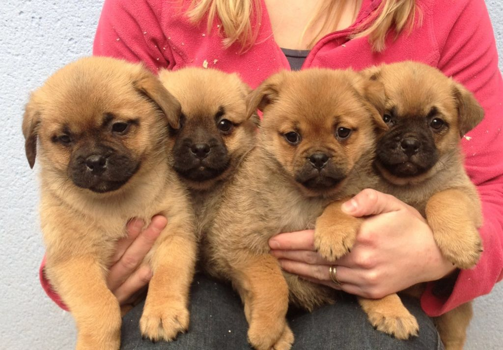 Pug Pomerian Pug Puppies For Sale Pomeranian Mix Puppies
