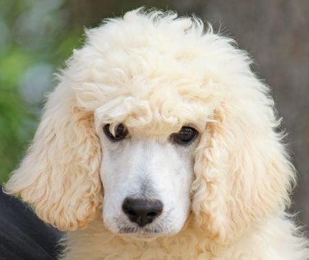 85 Helena S Cream Green Polish Male Cream Standard Poodle
