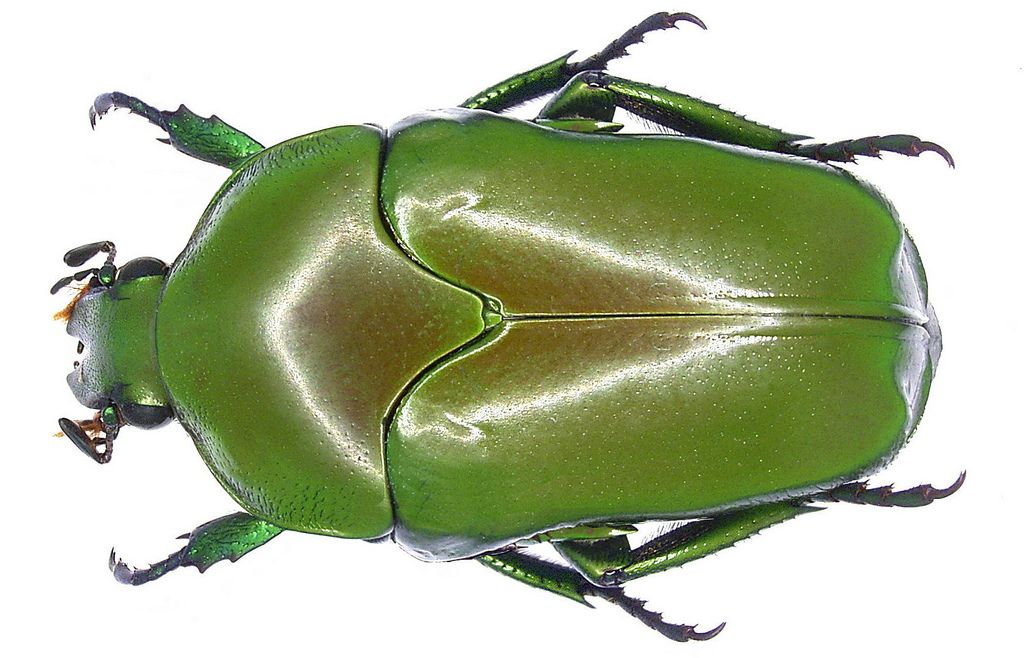 Family: Scarabaeidae Size: 27 to 33.3 mm Origin: Indonesia, Papua New Guinea Location: Indonesia, Molucca, Halmahera, Dolik leg.det. A.Skale, 2006 Photo: U.Schmidt, 2006