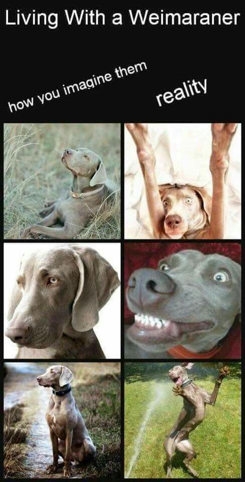 Living With A Weim Weimaraner Puppies Dogs