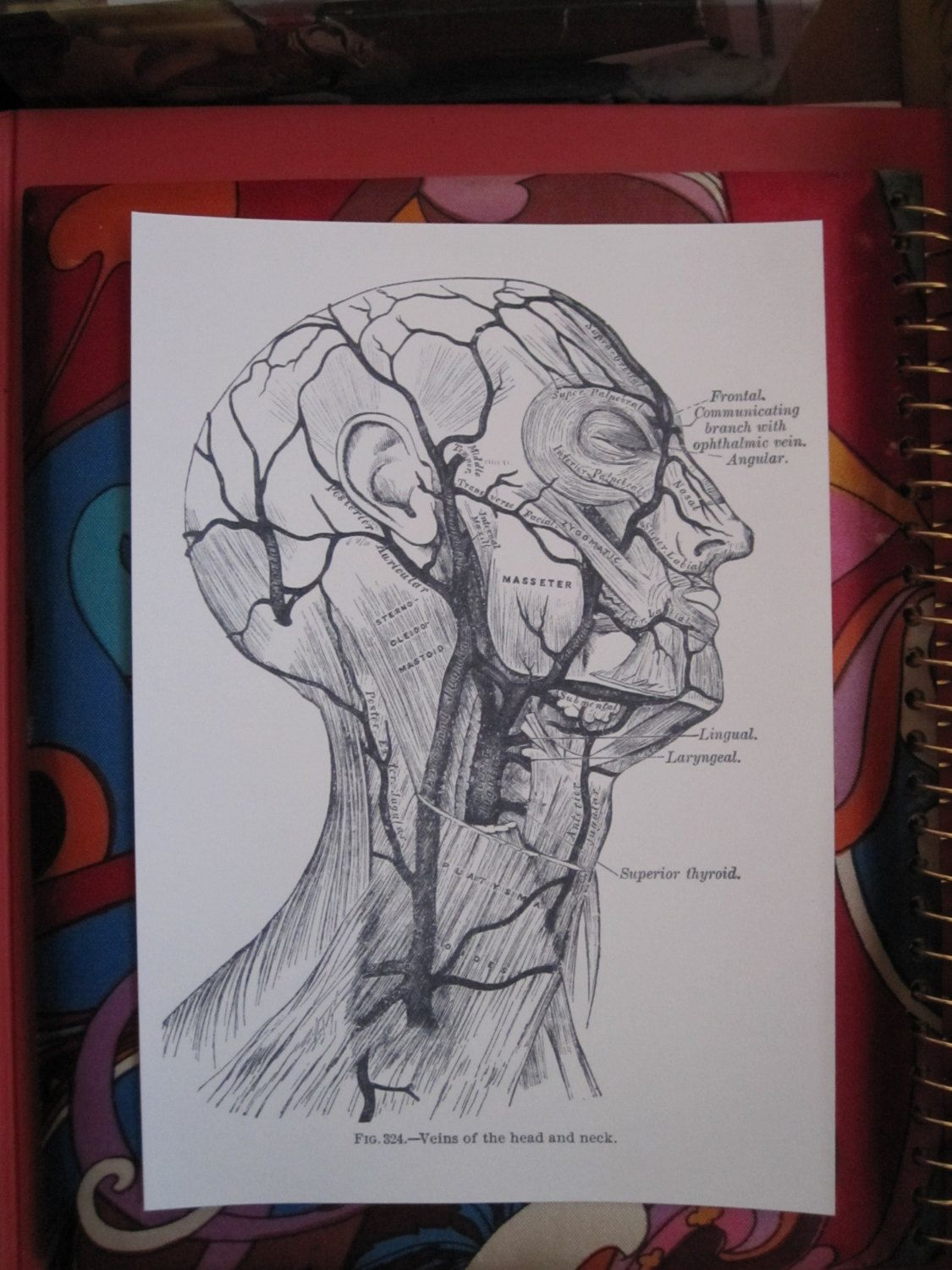 Anatomical Print, Face, Neck, Biology, Head Dissection ...