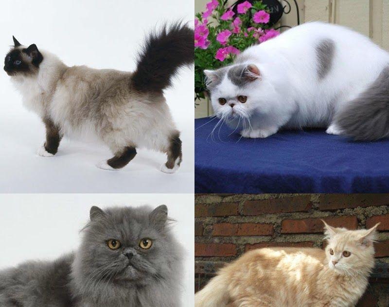 Gambar Kucing Lucu Dan Imut Warna Putih 40 Foto Kucing Persia Gambar Gambar Kucing Persia Lucu Dan Imut 5000 Gambar Kucing Lucu Menggambar Kucing Kucing Lucu