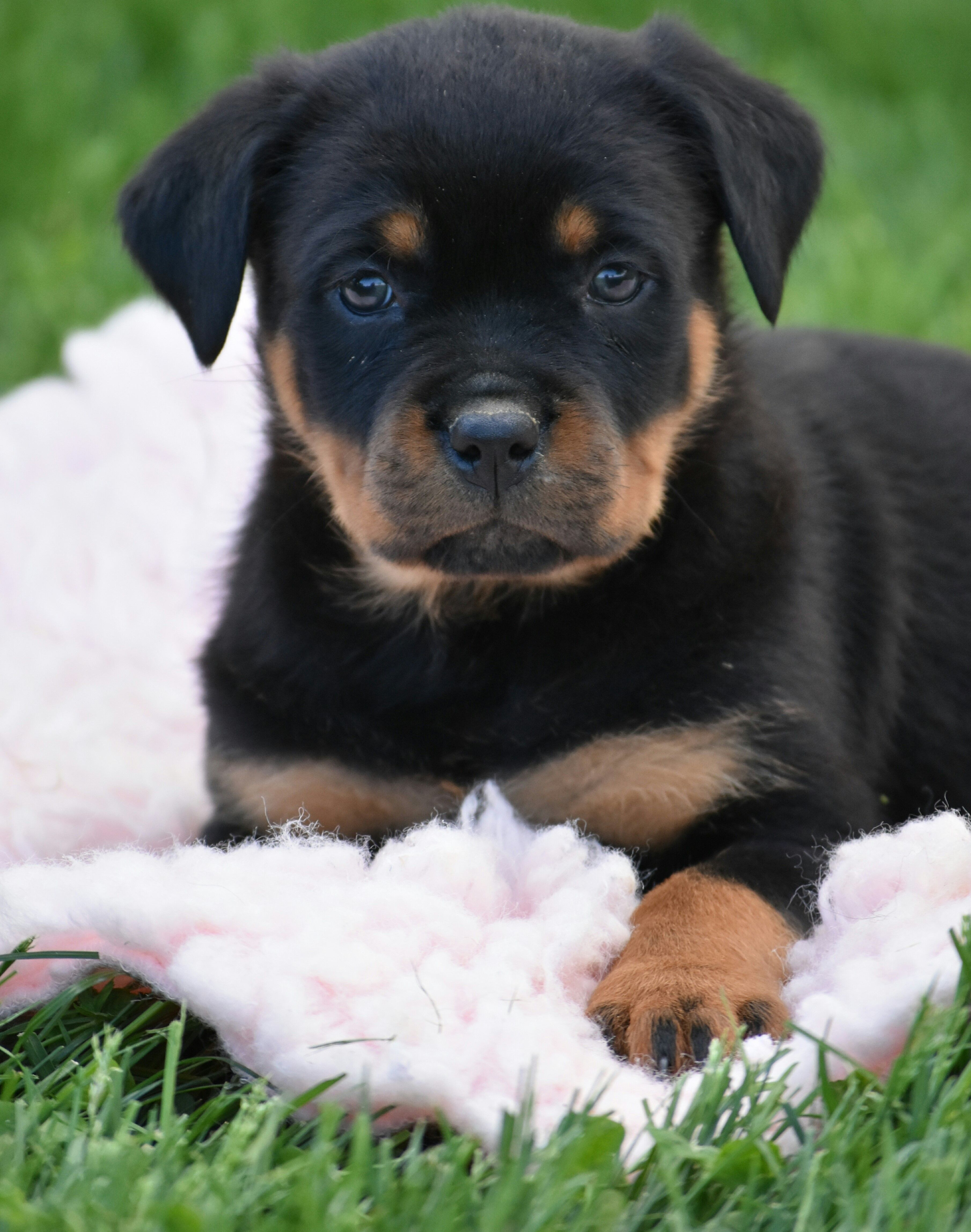 Brave Rottweiler Bulldog Breeds Rottweiler Puppies Rottweiler