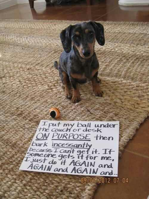 Omg! My silly daschund does exactly this!!