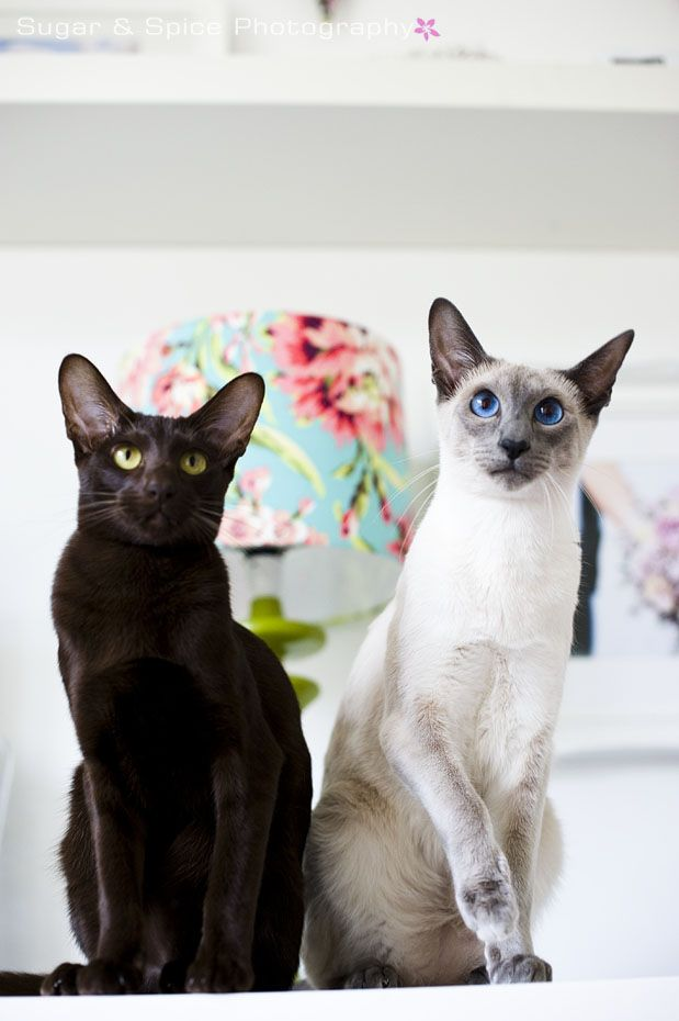 My Chocolate Shaded Oriental and Blue Point Siamese cats.