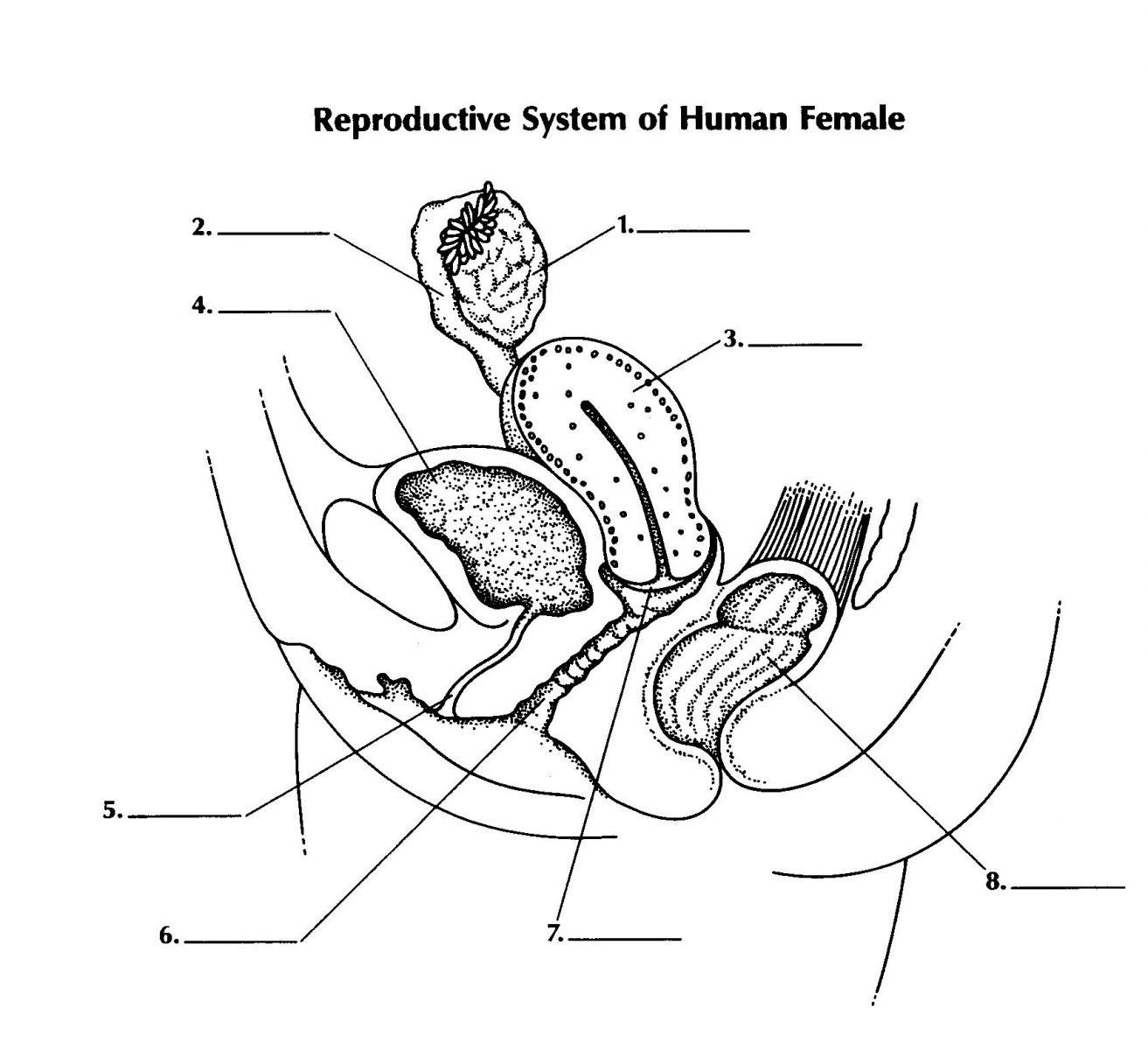 Female Reproductive System Diagram Unlabeled Elegant Female Reproductive System Diag In 2020 Female Reproductive Anatomy Female Reproductive System Reproductive System