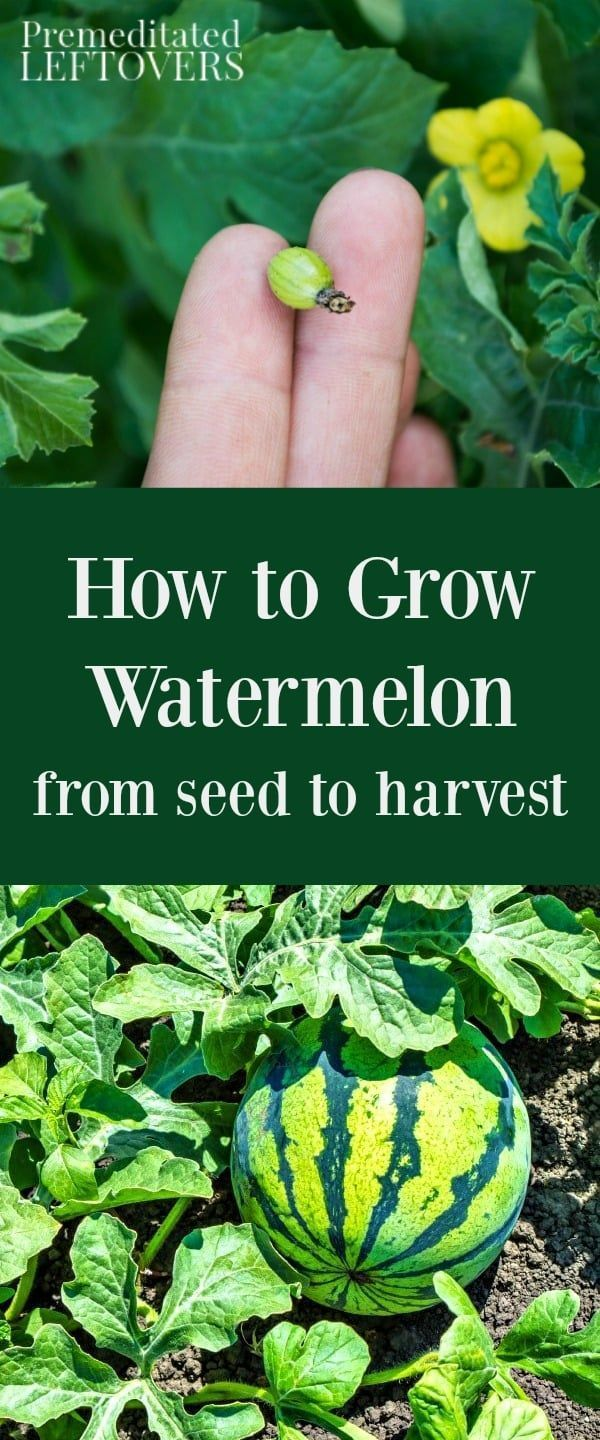 How to grow watermelon tips for growing watermelon including how to grow watermelon tips for growing watermelon including how to plant watermelon seeds nvjuhfo Choice Image
