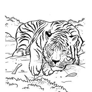 Tiger A Tiger On Its Napping Time Coloring Page A Tiger On Its