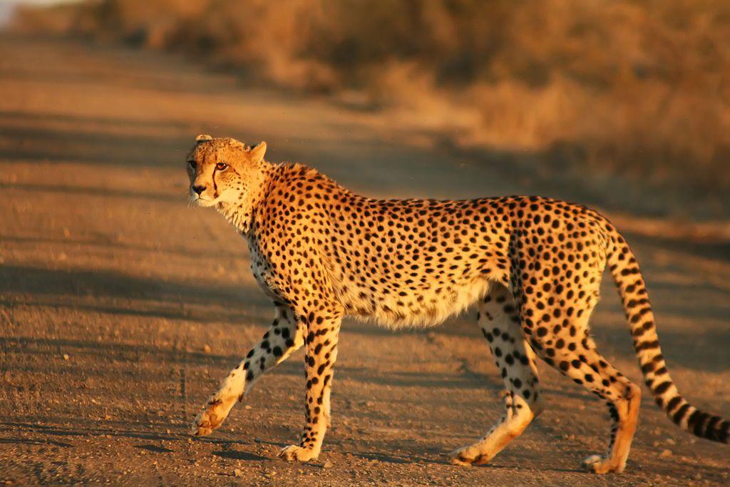 Cheetah Wikipedia, the free encyclopedia Animales
