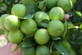 Cómo sembrar un árbol de limones en casa - Panorama Agrario