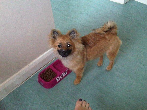 Pomeranian Puppies Short Hair Zoe Fans Blog