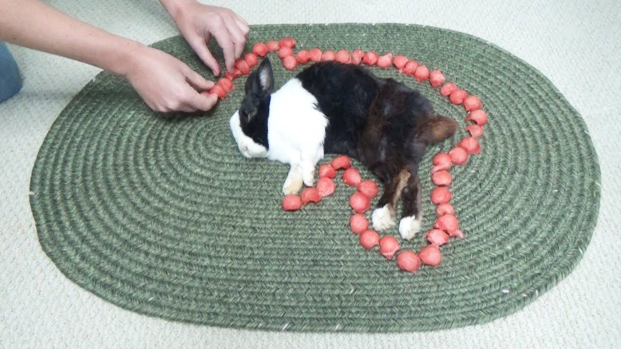 Waking A Sleeping Rabbit By Surrounding Him With Watermelon
