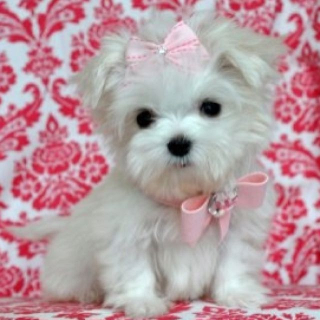I Want 3 Cute Animals Maltese Puppy Teacup Puppies