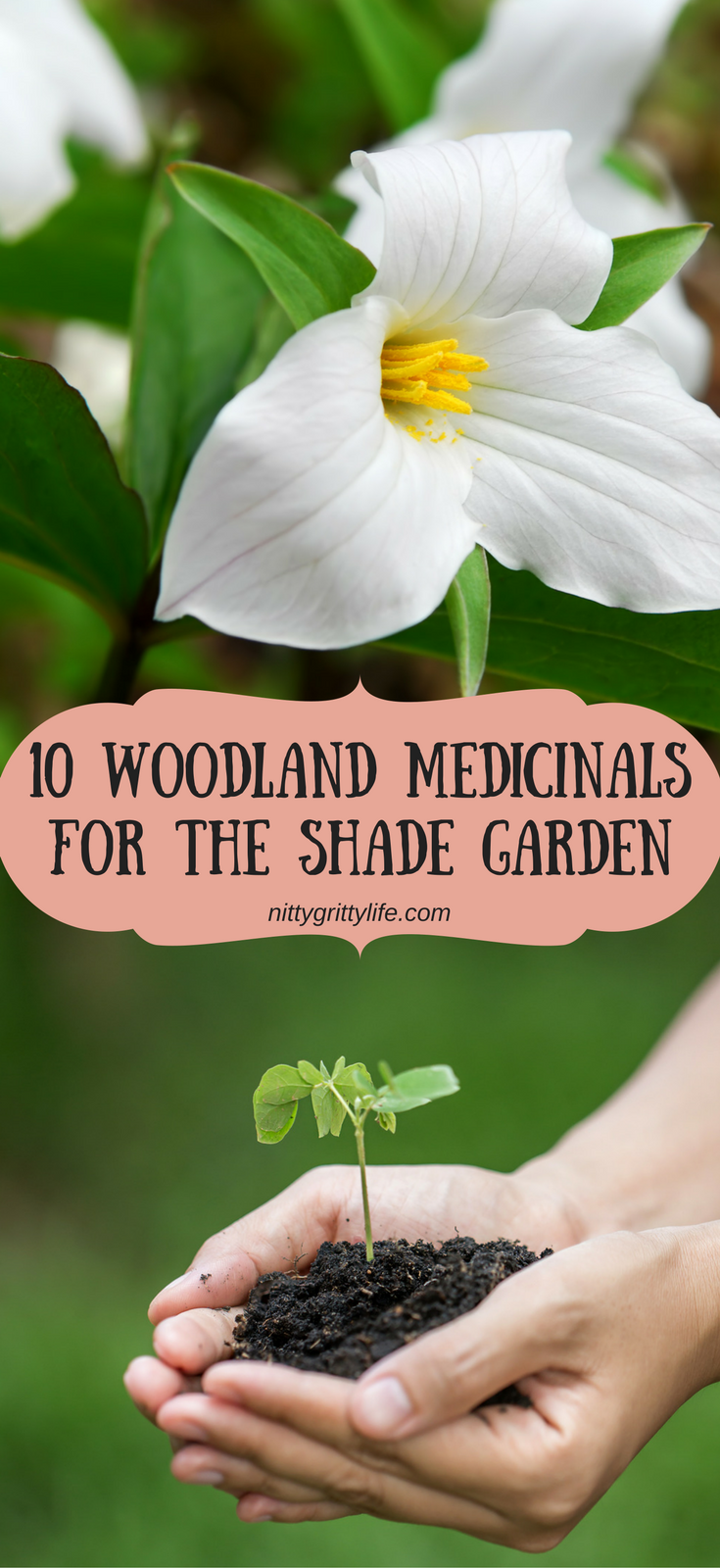 Plant your shade garden to these woodland medicinals and you will be pulling double duty by growing medicine and supporting conservation efforts! #shadegarden #woodlandmedicinals #herbalmedicine #forestgarden via @nittygrittylife