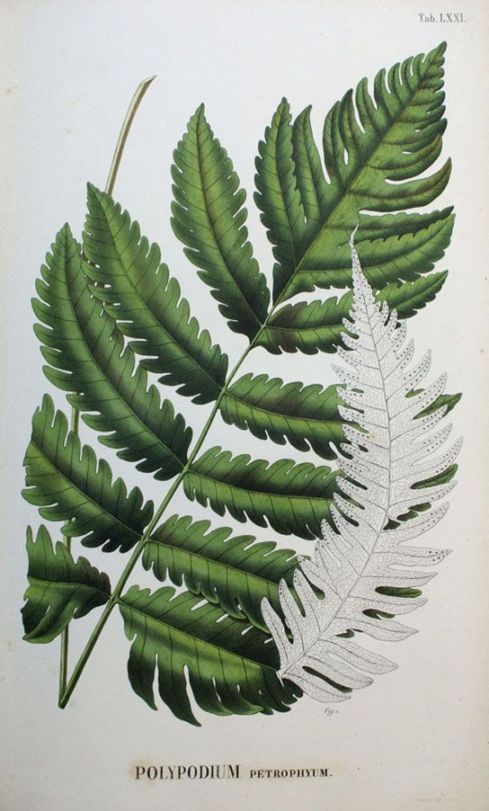 1860 Wood Block Engraving Davallia Immersa Book Plate Edward Joseph Lowe Fern Antique Botanical Print