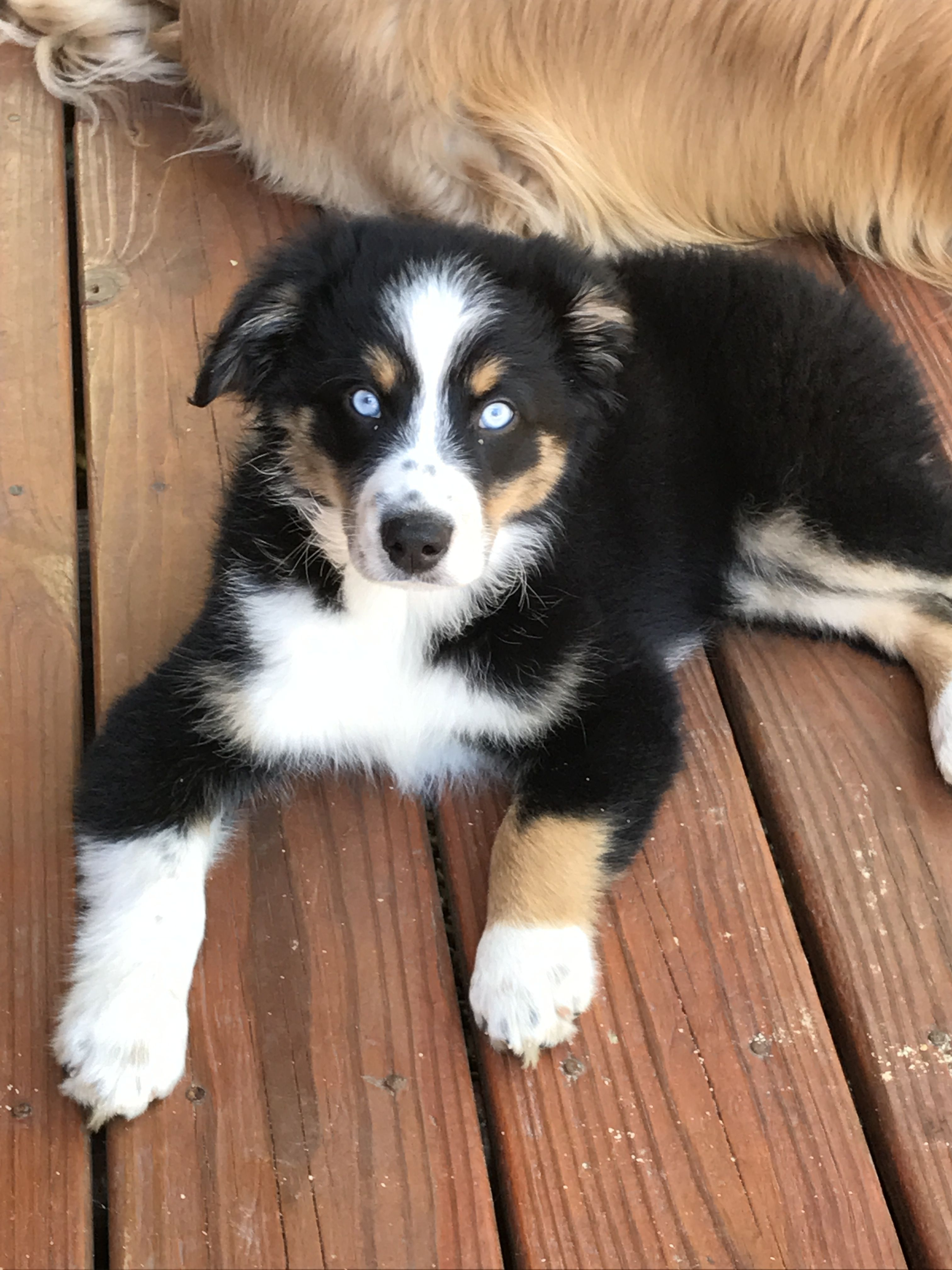 My Blue Eyed Black Tri Yogi Aussie Love Miniature