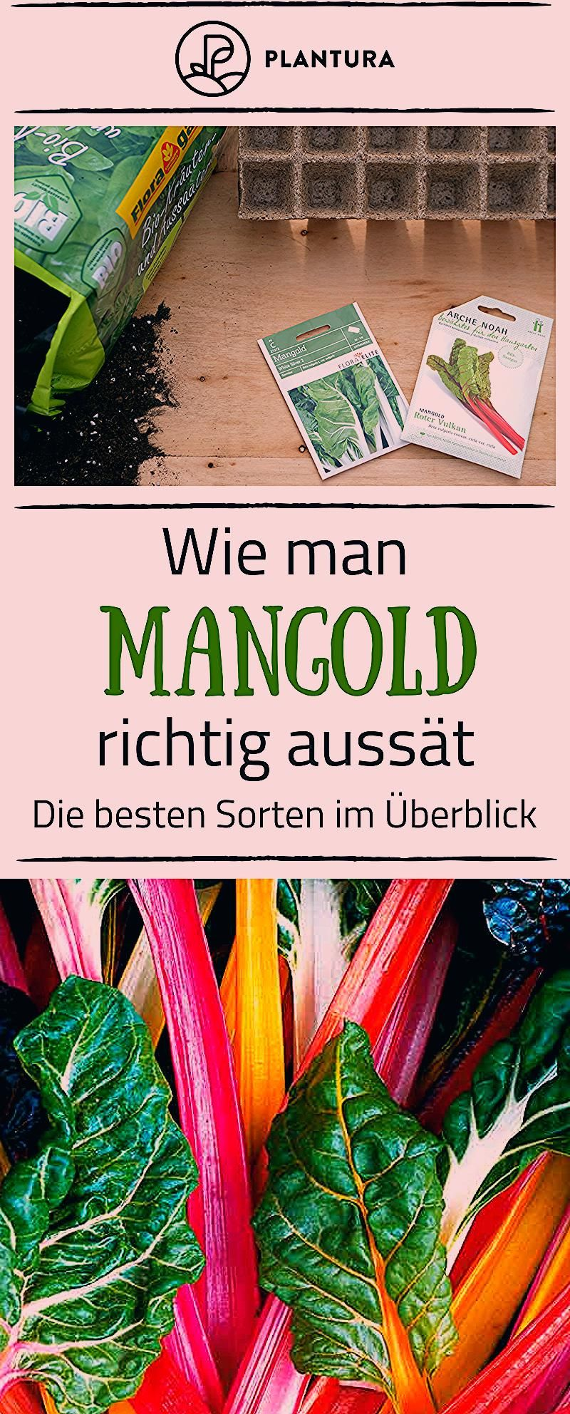 Photo of Mangold anbauen: Profi-Tipps zu Standort & Vorgehen – Plantura