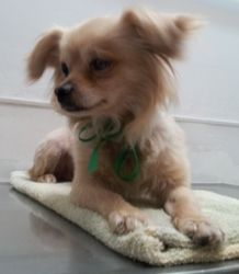 Adopt Taco on Fluffy puppies, Tibetan spaniel, Animals