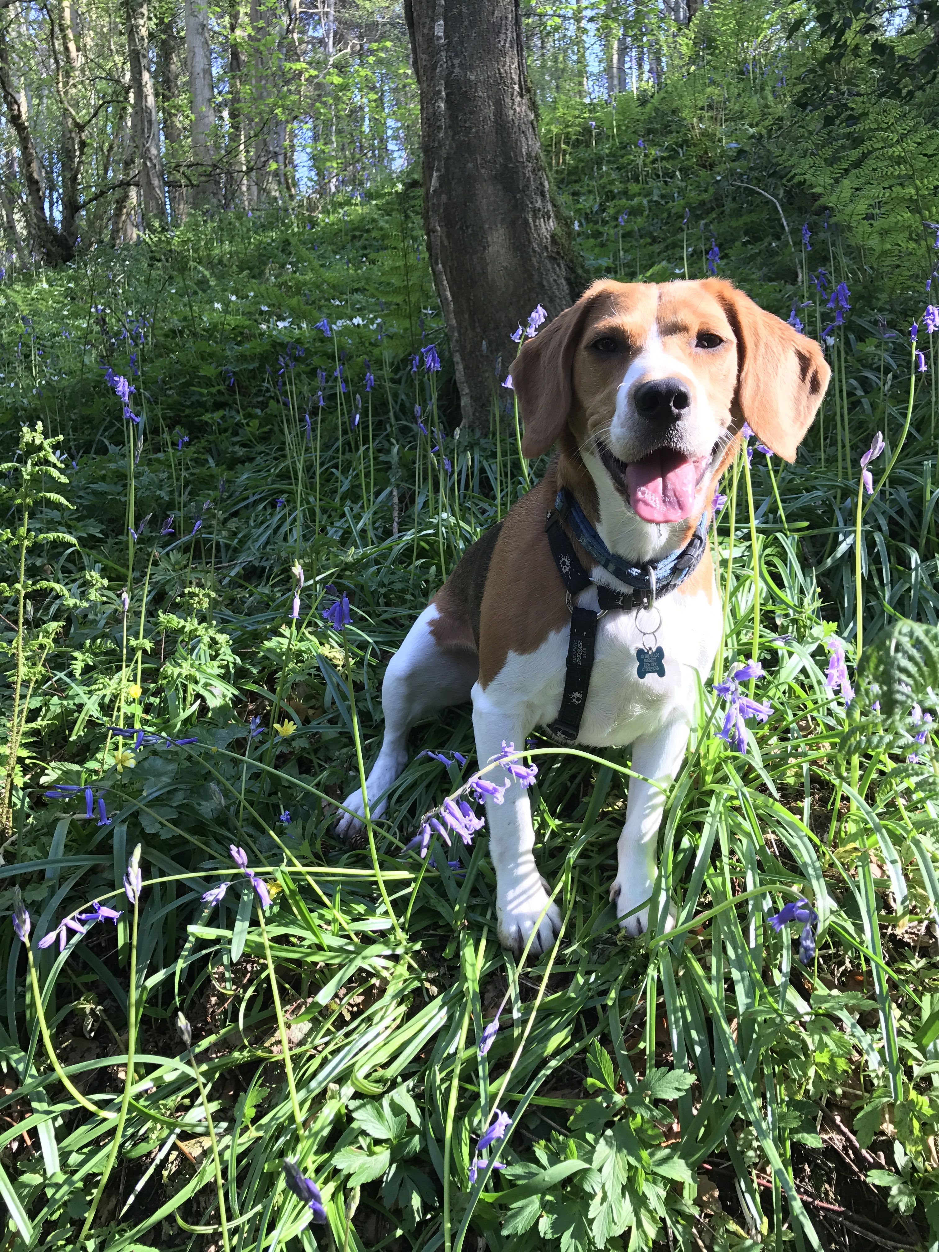 Pin by Rhonda Blonowicz on Hector the beagle Beagle, Dog