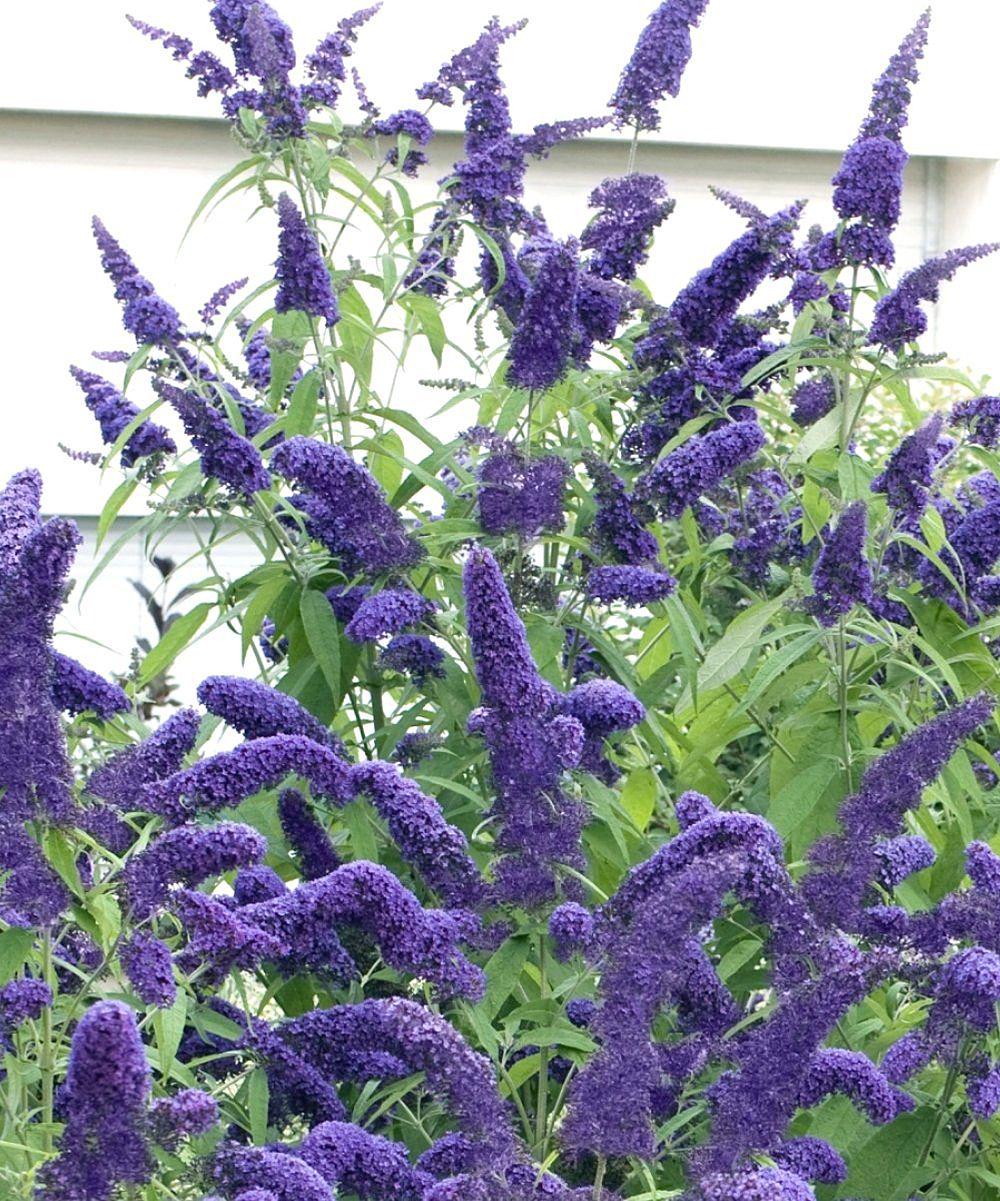 Cottage Farms Direct True Blue Butterfly Bush With Images Butterfly Bush Flower Garden Plants Flower Garden