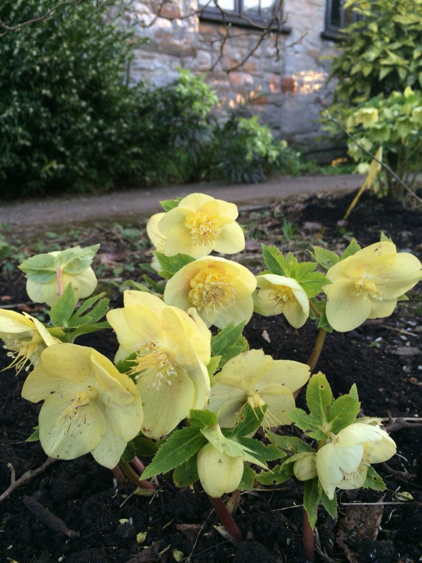 Yellow Anemone Flowered Hellebore Our Hellebore Collection