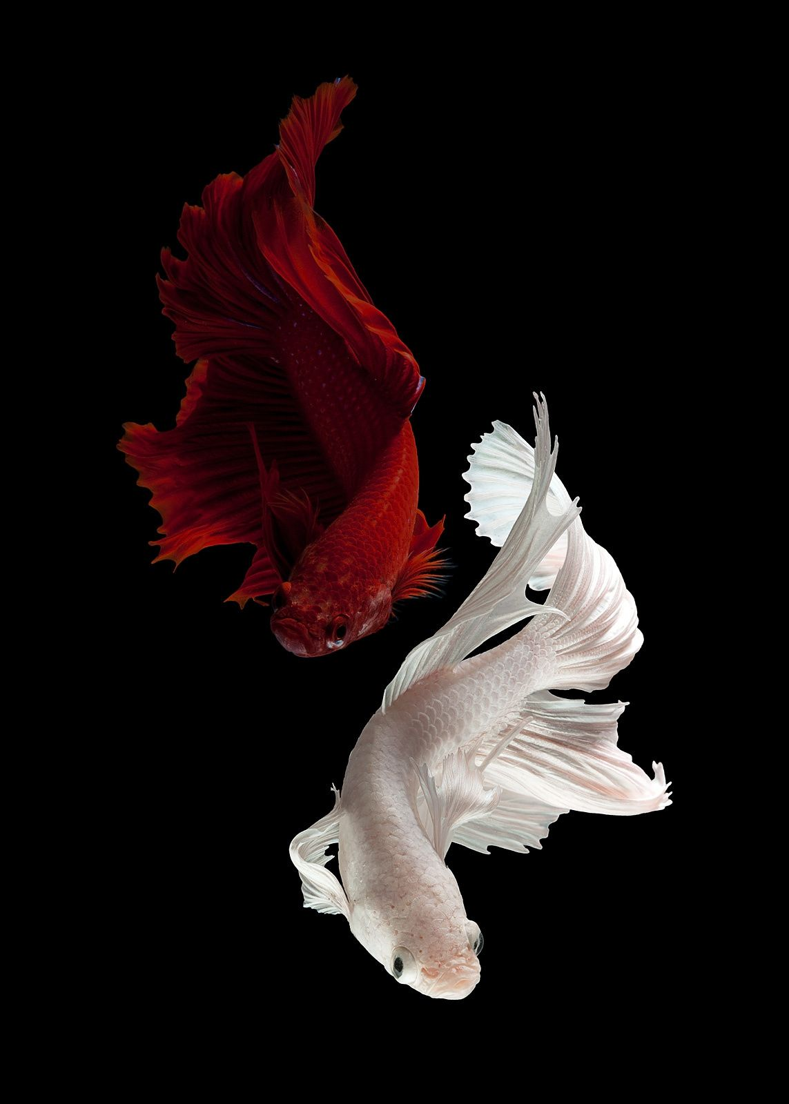 Siamese Fighting Fish Beautiful Fish Colorful Fish Fish Wallpaper