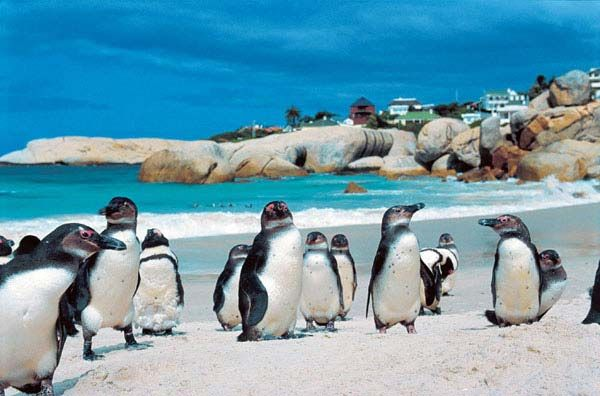 African Jack Penguins Boulders Beach False Bay Cape Town South Africa