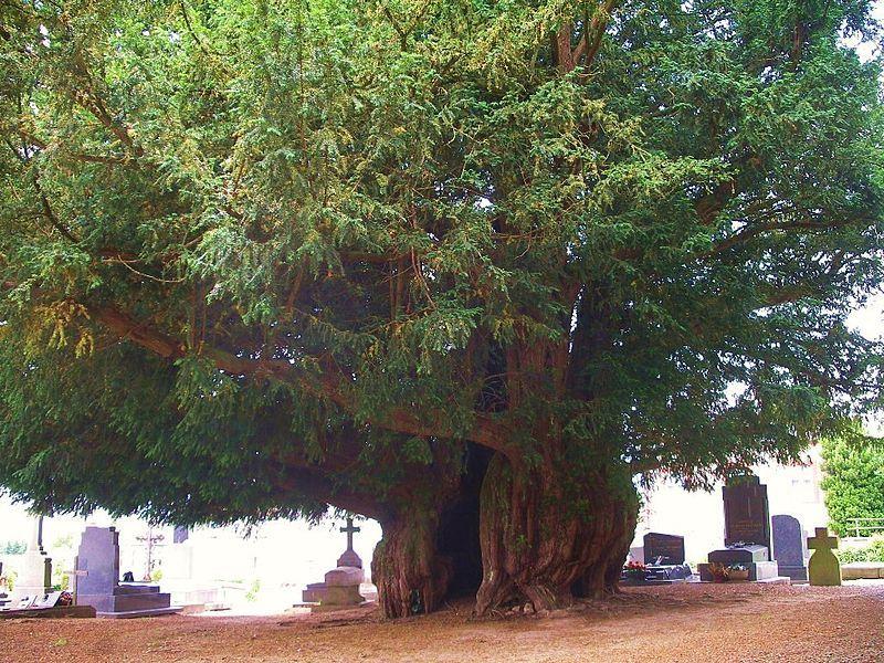 If âgé de 1600 ans dans le cimetière d' Estry (Calvados)