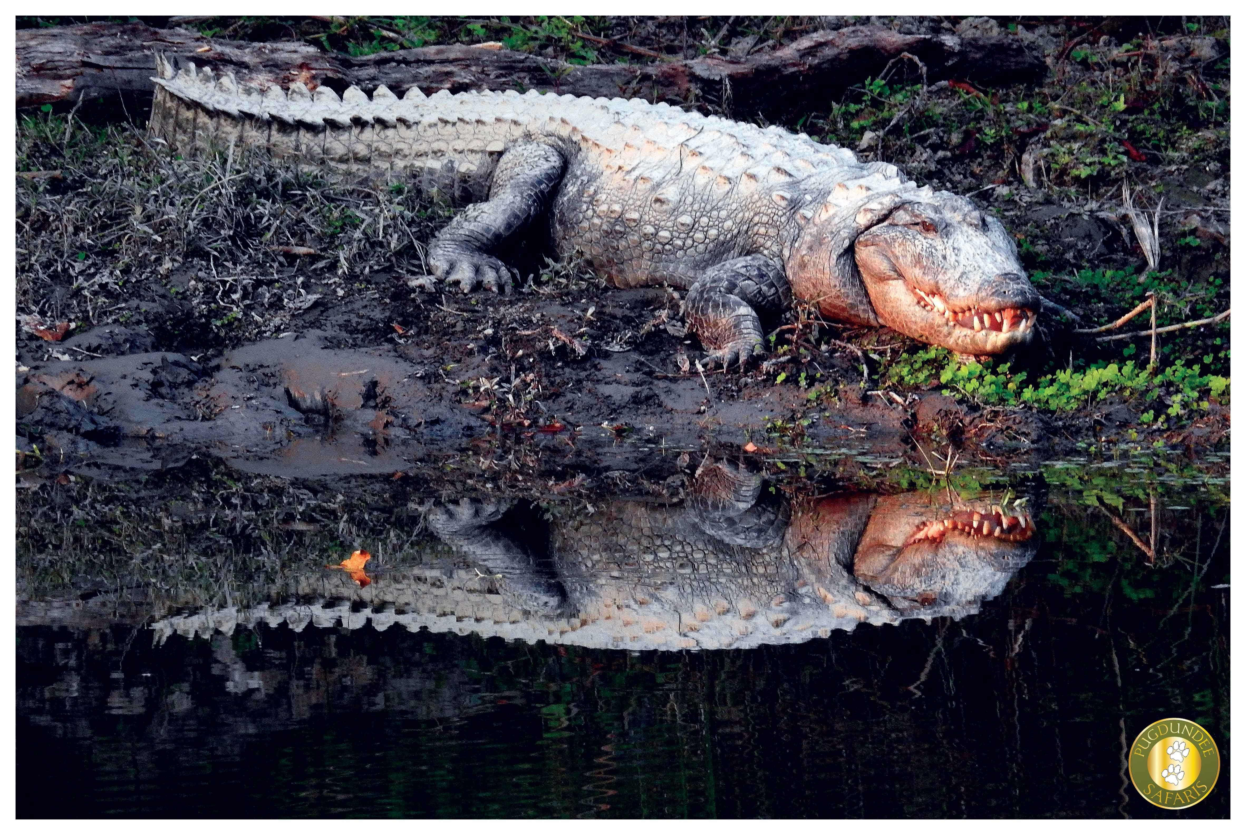 The Jaw rule difference between alligator and crocodile Marsh Muggers (the river monster) belongs to the Crocodylidae family and are different from Alligators. #Crocodiles has the broadest snout among all the species from Crocodylidae family lending them a more alligator like appearance. They have a 'V' shape nose and the size of the upper and jaw is almost the same size and teeth from both upper and lower jaw visibly overlap when crocodiles close their mouth.
