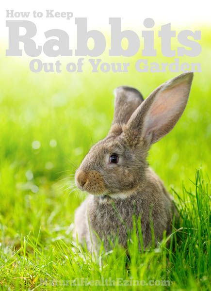 How to keep rabbits out of your garden growing things - How to keep rabbits out of a garden ...