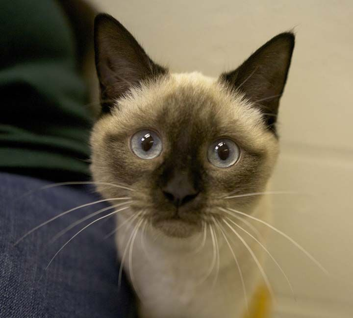 Raisin Is A 6 Month Old Female Seal Point Siamese Mix Seal Point Siamese Pets Cats