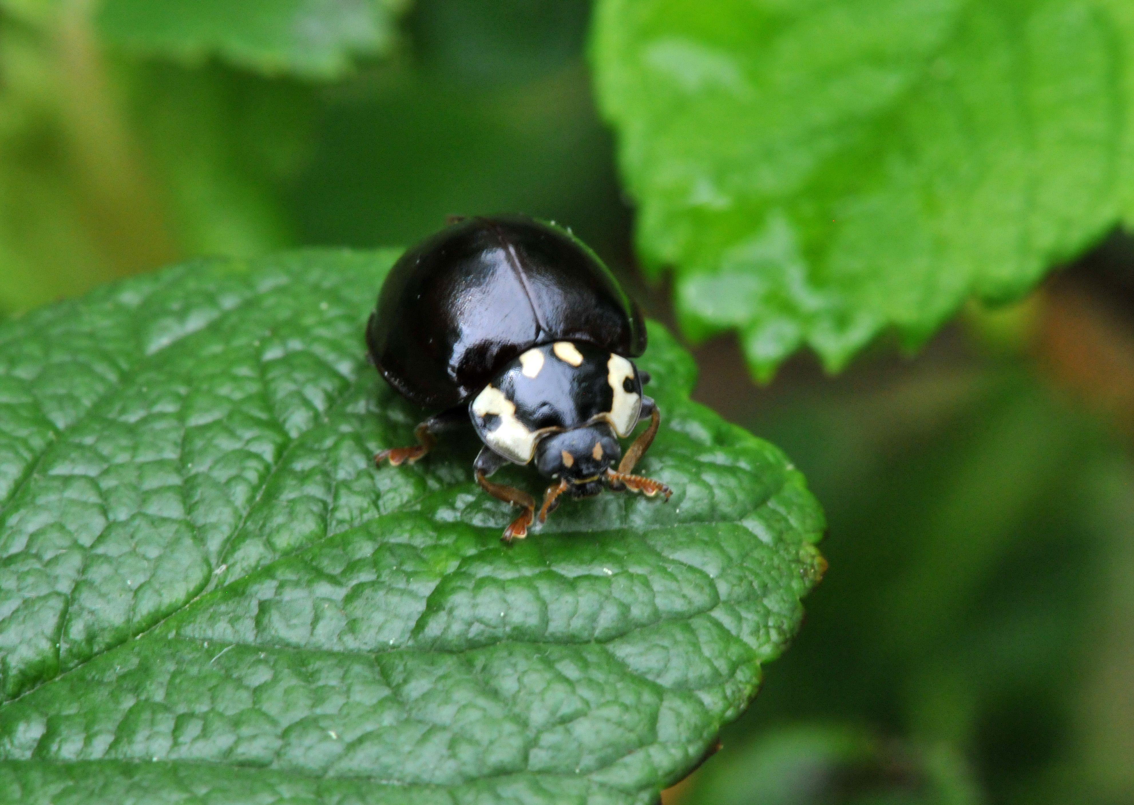 Lady Bug Ladybug, Beautiful bugs, Black ladybug