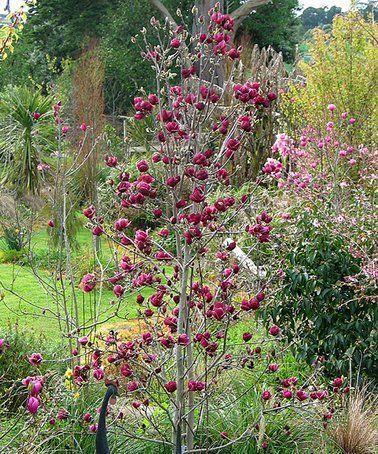 This Live 'Genie' Magnolia Tree is perfect! #zulilyfinds #kletterpflanzenwinterhart This Live 'Genie' Magnolia Tree is perfect! #zulilyfinds #kletterpflanzenwinterhart This Live 'Genie' Magnolia Tree is perfect! #zulilyfinds #kletterpflanzenwinterhart This Live 'Genie' Magnolia Tree is perfect! #zulilyfinds #kletterpflanzenwinterhart This Live 'Genie' Magnolia Tree is perfect! #zulilyfinds #kletterpflanzenwinterhart This Live 'Genie' Magnolia Tree is perfect! #zulilyfinds #kletterpflanzenwinterh #kletterpflanzenwinterhart