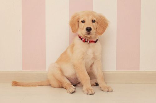 Love Of Goldens Dogs Puppies Golden Retriever Names Dogs