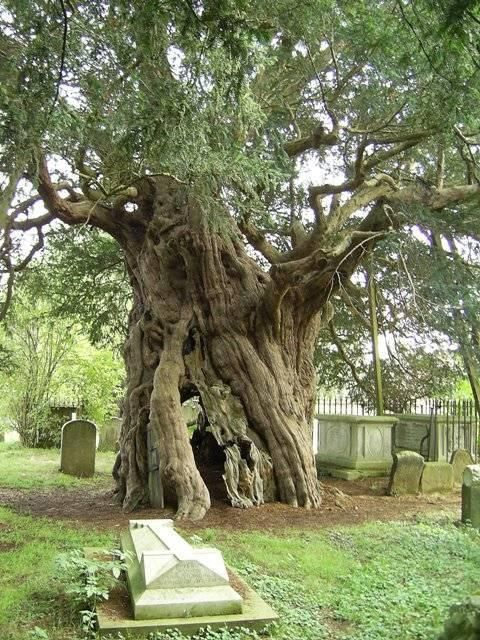 the eternal yew
