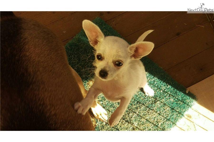 Chihuahua Puppy For Adoption Near Los Angeles California