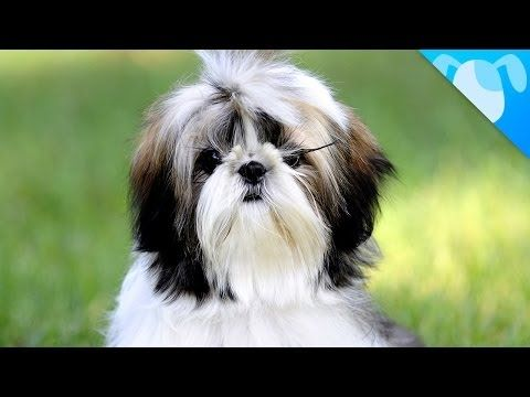 Dogs That Don T Shed 23 Hypoallergenic Dog Breeds Dog Breeds Hypoallergenic Dog Breed Shih Tzu
