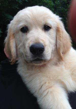 This Is William A 10 Week Old English Cream Golden Puppies Need