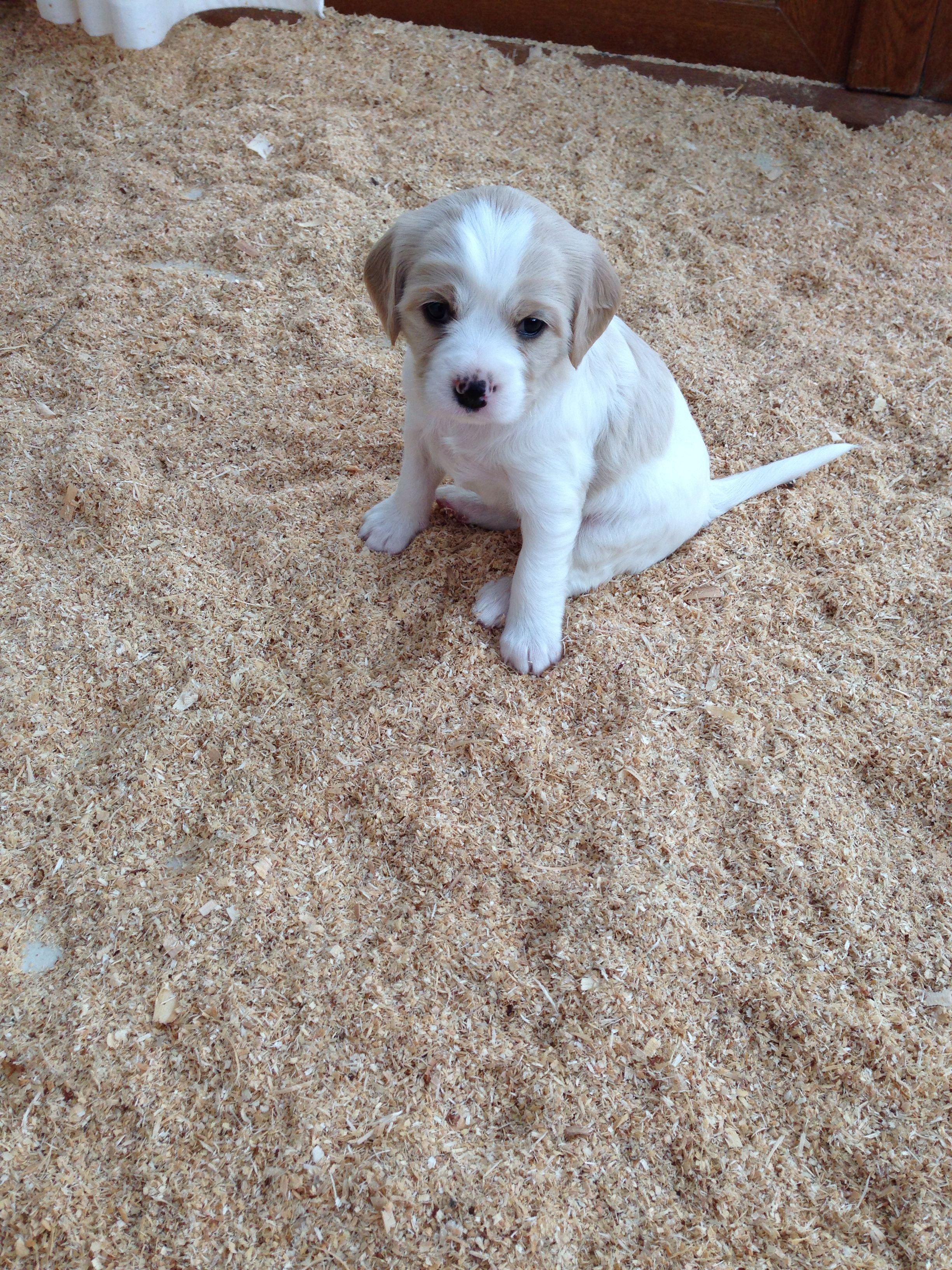 Lily - our 5 week old Cavachon. 3 weeks left until we can bring her home.