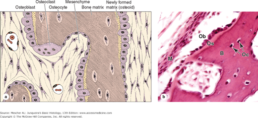 Histology: Bone Osteoblasts and Osteocytes   Histology ...