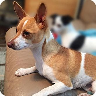 Lansing Mi Rat Terrier Chihuahua Mix Meet Max Mi A Dog For